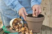 Plantio de bulbos — Fotografia Stock