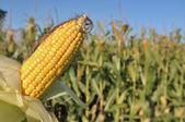 Close on ear of corn  — Stock Photo