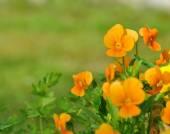Pretty orange viola  — Stock Photo
