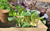 Vegetable seedlings in patch  — Stock Photo