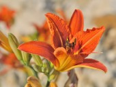 Insecte in daylily — Stock Photo