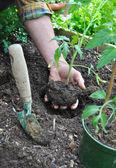 Planting tomato — Stock Photo