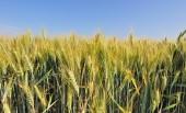Barley bearded — Stock Photo