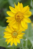 Sun Flowers in Yellowstone National park — Stock Photo