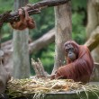 Tired mother orangutang sleeping while its baby playing around — Stock Photo #71835963