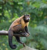 Macaco-prego marrom — Fotografia Stock