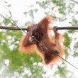 Baby orangutang in a funny pose — Stock Photo #73481415