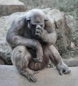 Old chimpanzee deep in thoughts or grief — Stock Photo