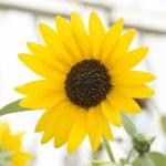 Sunflower — Stock Photo #53470641
