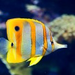 Copperbanded butterflyfish — Stock Photo #62703381