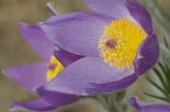 Flowering pasque flowers (Pulsatilla) — Stock Photo