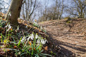 Group of wild flowering snowdrops in the woods — Stock Photo