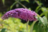 Buddleia flowering bush — Stockfoto