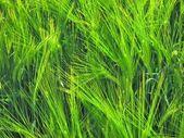 Seigle vert — Photo
