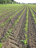 Corn  field in  Spring — Stock Photo
