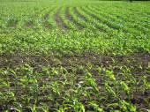 кукурузное поле весной — Стоковое фото