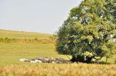 Baum und Kühe auf den Wiesen — Stockfoto