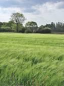 Rye field — Stock Photo