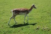 Fallow Deer (Dama dama) — Stock Photo