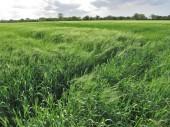 Råg fältet — Stockfoto