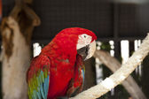 Red Scarlet Macaw Portrait — Stock Photo