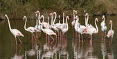 Greater flamingos, phoenicopterus roseus, Camargue, France — Stock Photo