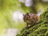 Siberian or common chipmunk squirrel, eutamias sibiricus — Photo