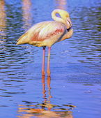 Greater flamingo, phoenicopterus roseus, in Camargue, France — Stock Photo