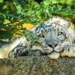 Snow leopards resting — Stock Photo #64087669