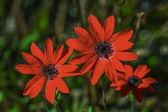Anemone pavonina flowers — Stock Photo