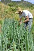 Farmer harvesting green onion — Stock Photo