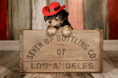 Cute Teacup Yorkie Puppy in Adorable Backdrops and Prop for Cale — Stock Photo