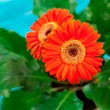 Red gerberas — Stock Photo #57544083