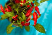 Red chili peppers growing in a pot — Stock fotografie