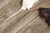 Tails of rats on a wooden table — Stock Photo