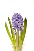 Blue hyacinth — Stock Photo