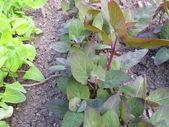 Garden orache, Atriplex hortensis — Stock Photo