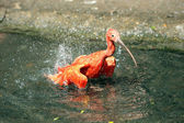Scarlet Ibis, Eudocimus ruber — Stock Photo