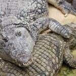 Nile crocodile, Crocodylus niloticus — Stock Photo #56979351
