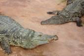 Crocodile du nil, crocodylus niloticus — Photo