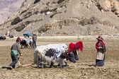 Tibetan farmers — Stock Photo