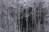 Beyaz ağaçlar — Stok fotoğraf