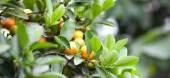 Fruit mandarin — Stock Photo