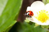 Ladybug on a flower — Foto de Stock