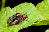 Soldier beetle — Stock Photo