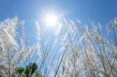 White reeds and blue sky — Stock Photo