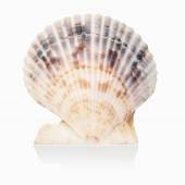 Scallop shell isolated — Stock Photo