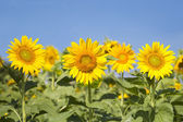 Sunflowers blooming background — Stock Photo