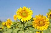 Flor de girasol — Foto de Stock