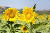 Two sunflower flowers in full bloom — Foto de Stock